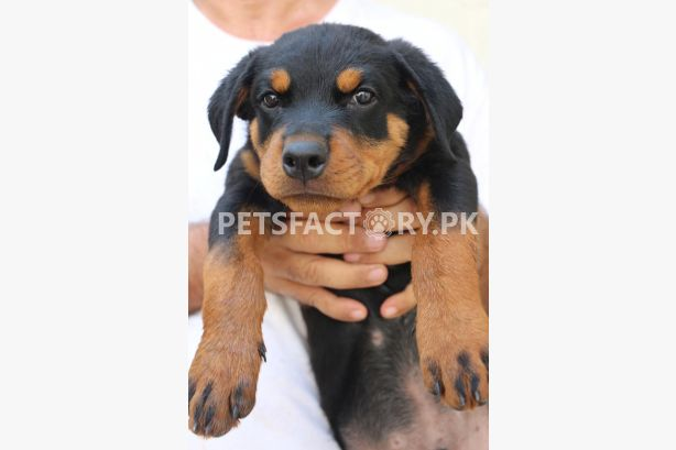 Pedigreed Rottweiler Puppies for sale for sale in Karachi