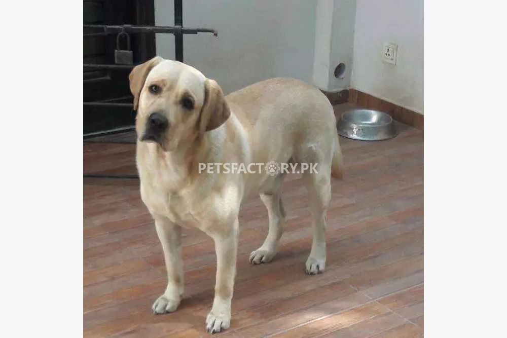 Pedigreed Labrador Available for Mating for breeding in