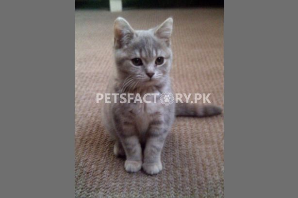 Beutiful Cat for adoption in Lahore , Pets Factory