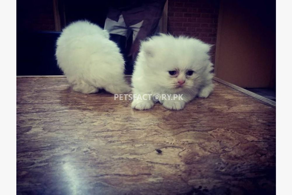 Blue Kittens For Sale : Blue eyes kittens for sale for sale in lahore pets factory