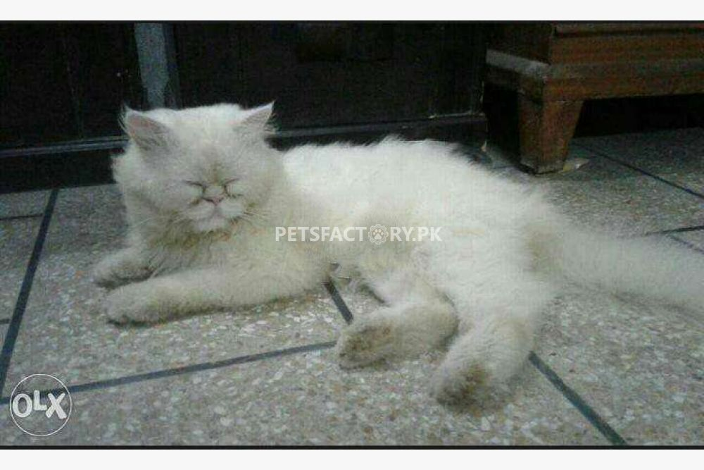 Extreme punch face Cat for sale in Lahore - Pets Factory