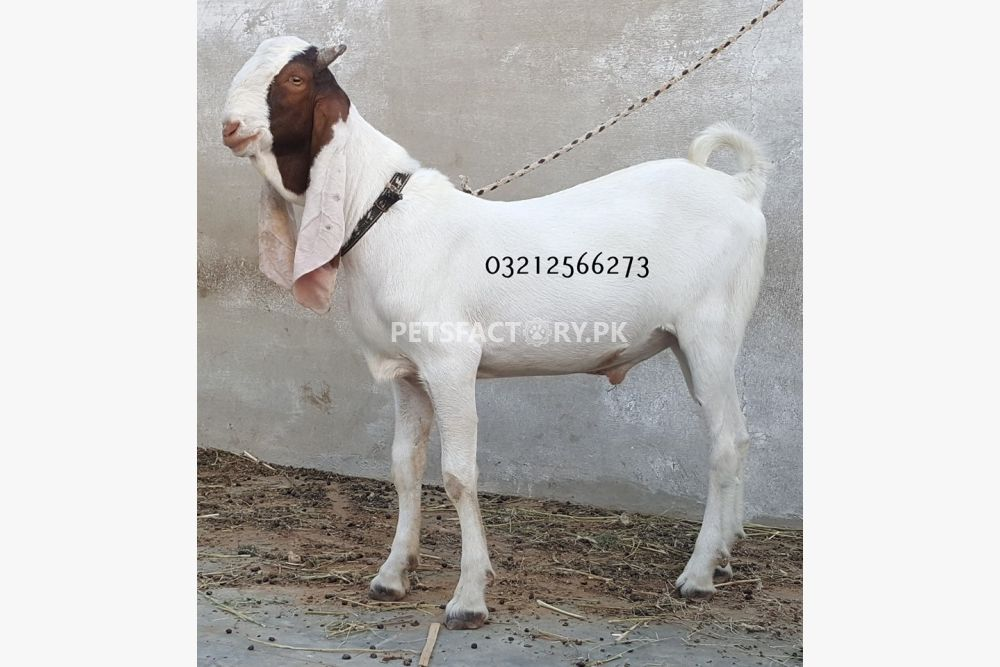 Goats For Sale In Islamabad