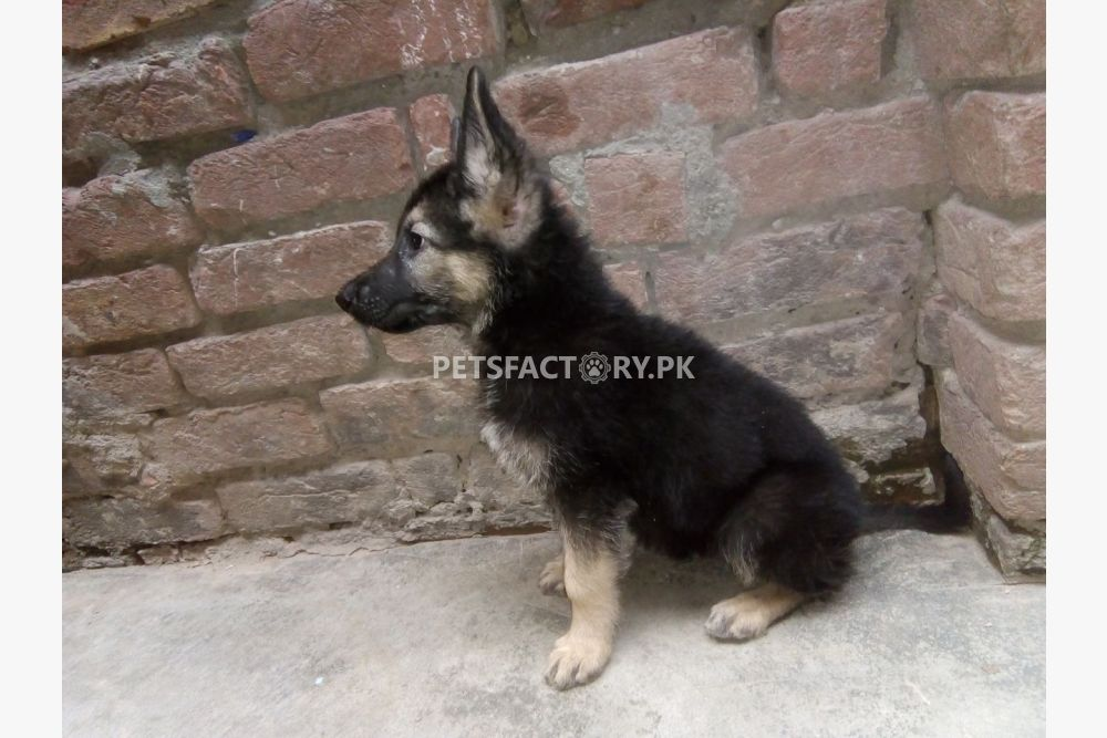 Buy Dog In Lahore