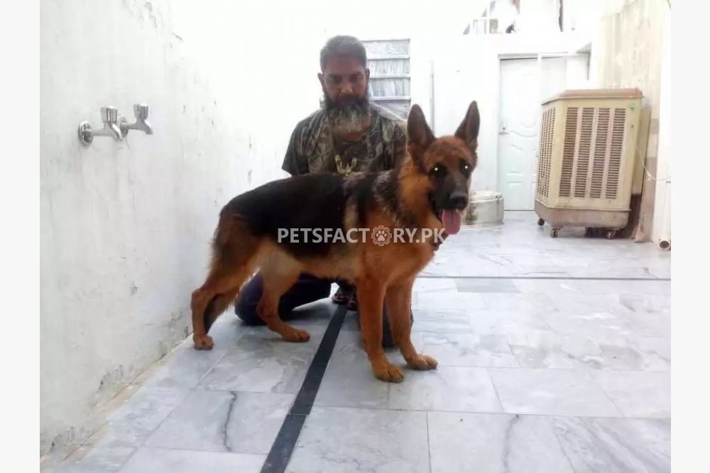 GSD female puppy for sale in Islamabad - Pets Factory