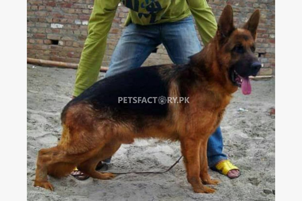 German shepherd for stud service for breeding in Lahore