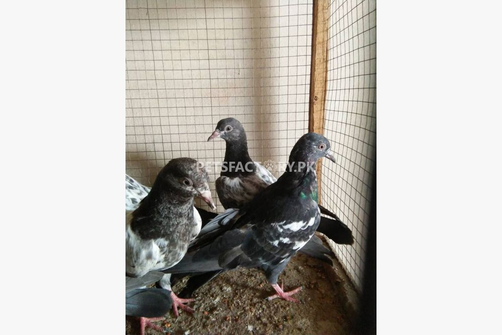 Highflayer baby pigeons for sale.... for sale in Lahore ...