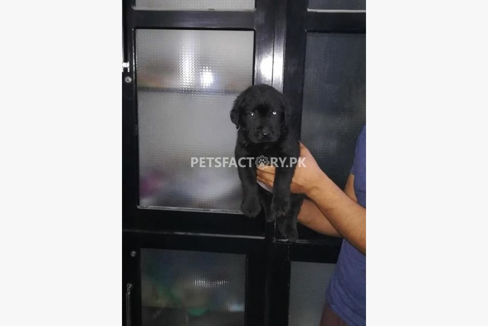 Labrador puppies for sale in Lahore - Pets Factory