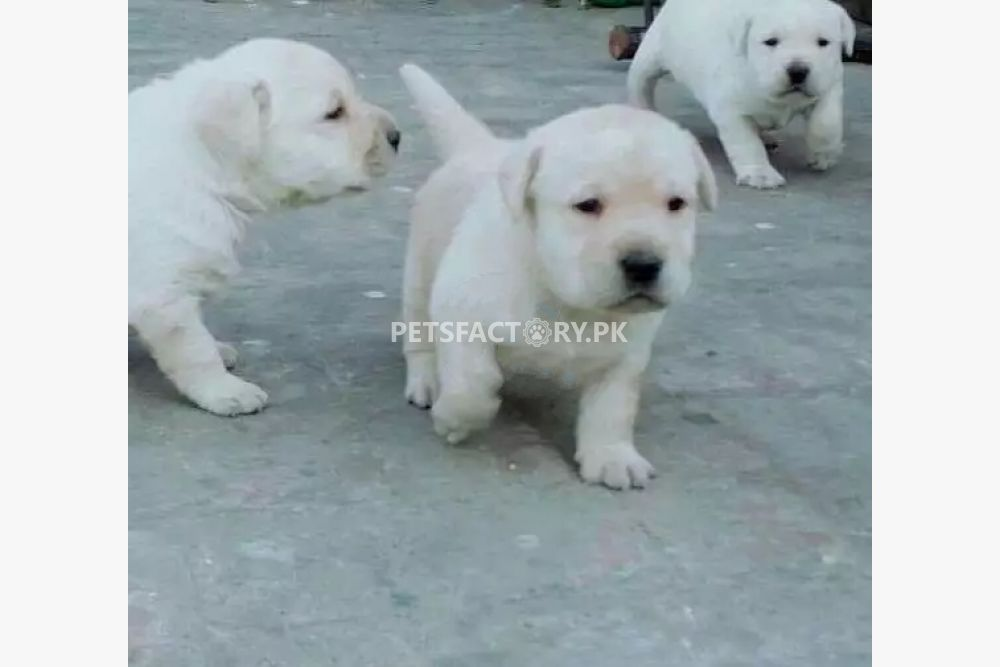 Labrador pups for sale in Lahore - Pets Factory