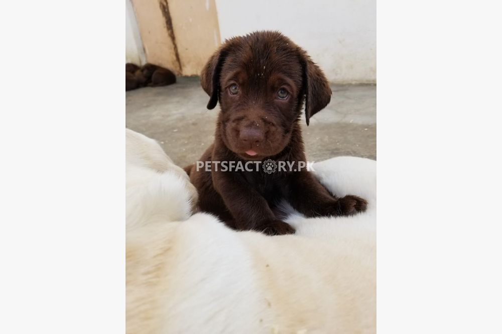 Labrador retriever for sale in Karachi - Pets Factory