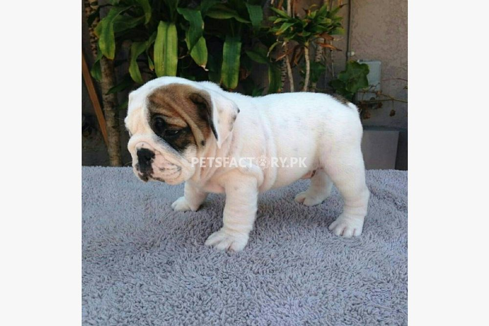 Male and female English bulldog puppies for sale in Lahore