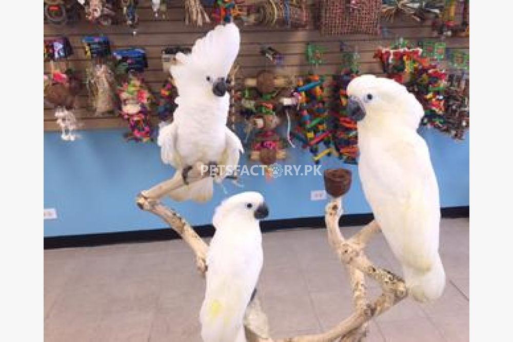 Parrots, and exotic animals for sale for sale in Islamabad