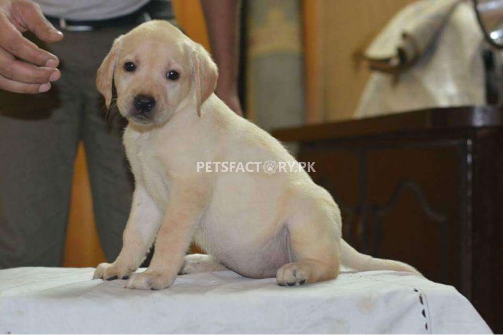 Pedigree labrador female pup for sale in Lahore - Pets Factory