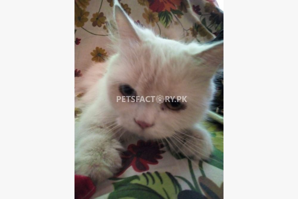 Persian cats for sale in Lahore - Pets Factory