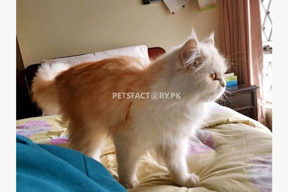 Persian semi punch face female cat for sale in Lahore - Pets Factory
