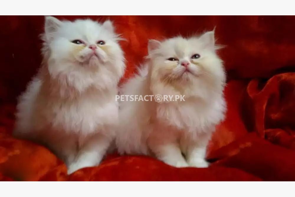 Persian cat for sale in gujarat