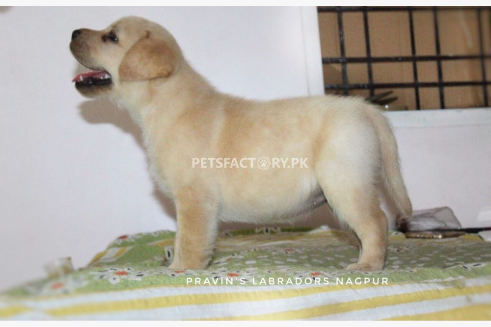 Lab Puppies Price In Hyderabad Cakrakhatulistiwa