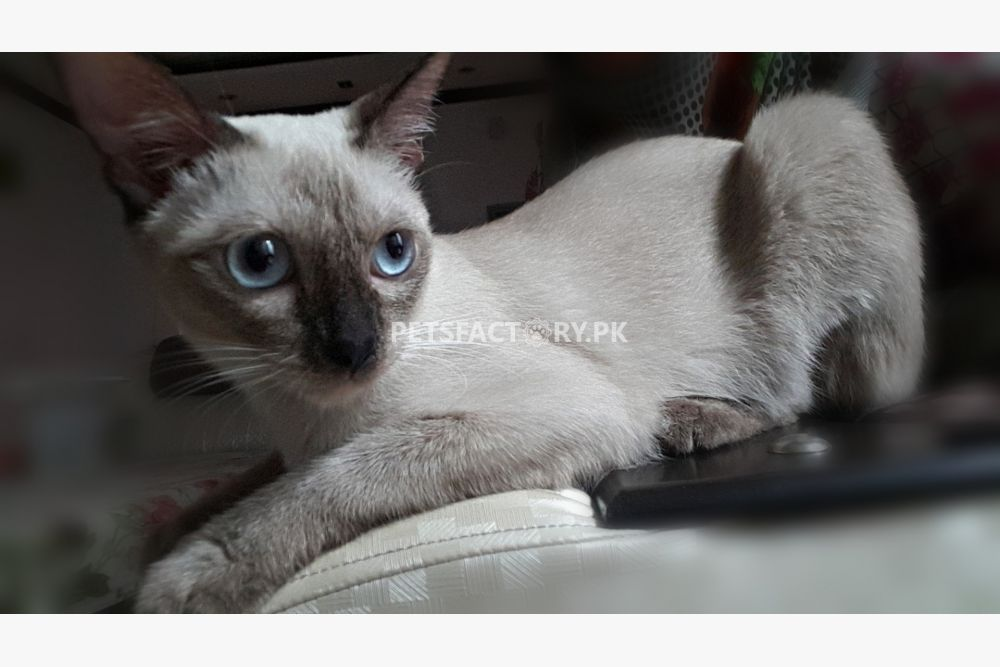 Two Pure Siamese Female Cats for sale in Lahore - Pets Factory