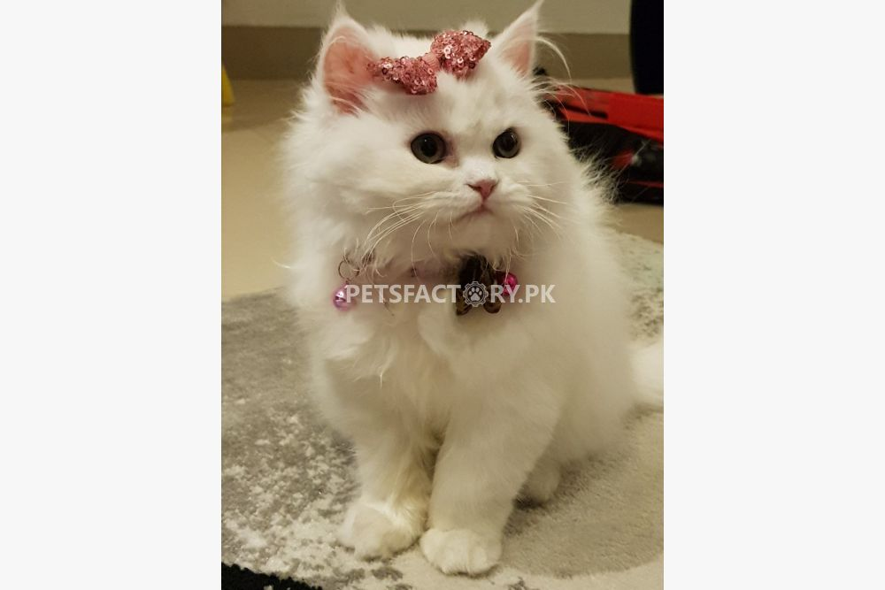 White Persian Cat for sale in Lahore - Pets Factory
