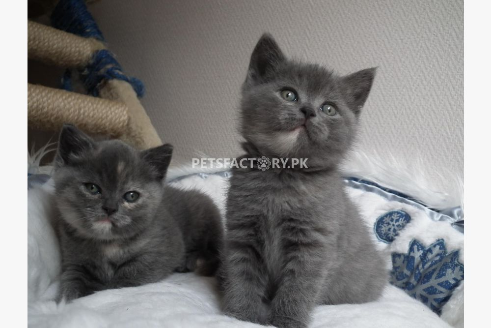 Blue Kittens For Sale : Blue british shorthair kittens available for sale in lahore pets