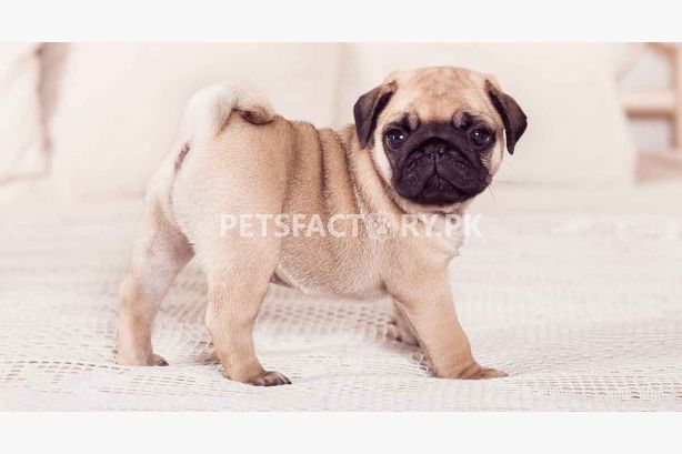 Buy Pug Dogs, Sell Pug Dogs, Buy Pug Dogs online in Pakistan, Pug