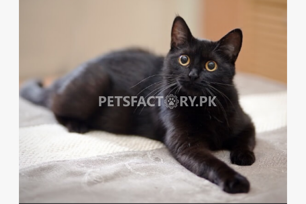 Buy Cats Sell Cats Buy Cats Online In Pakistan Cats For Sale And Purchase