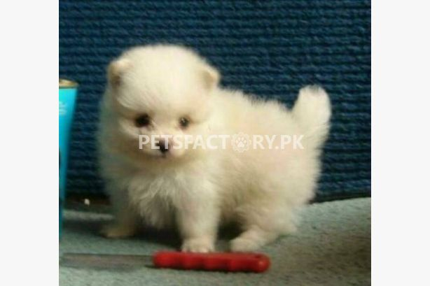 Buy Pets, Sell Pets, Buy Pets online in Karachi, Pets for