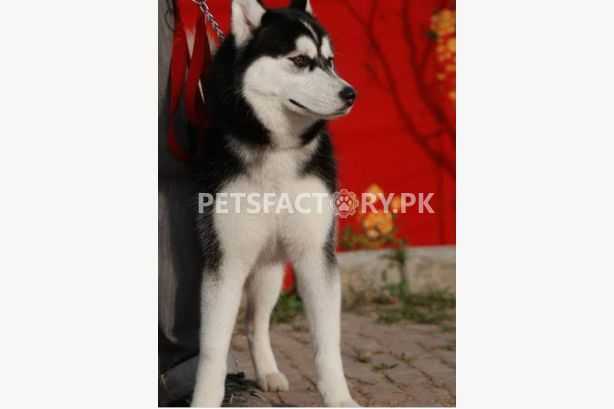 Buy Dogs Sell Dogs Buy Dogs Online In Pakistan Dogs For Sale