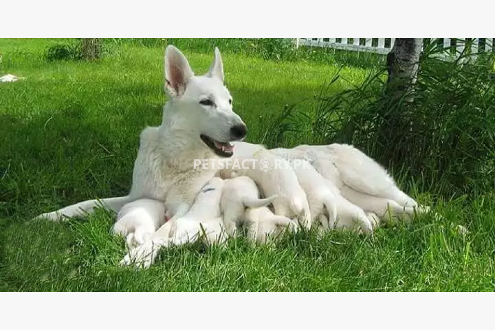White German shepherd Puppies For Sell for sale in Lahore