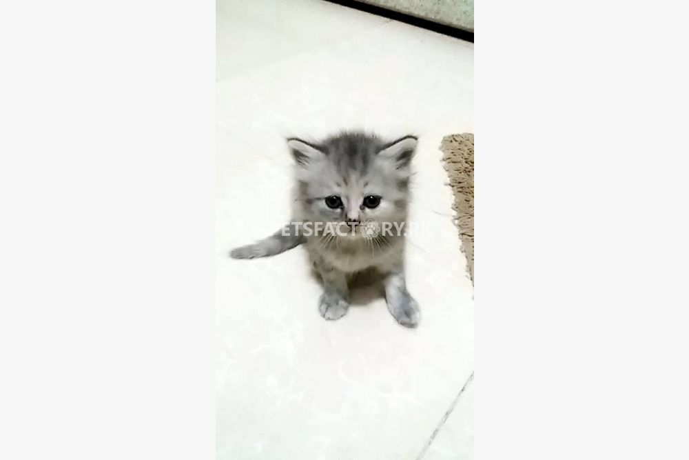 cdf71daa317604 2 Adorable kittens for sale for sale in Karachi - Pets Factory