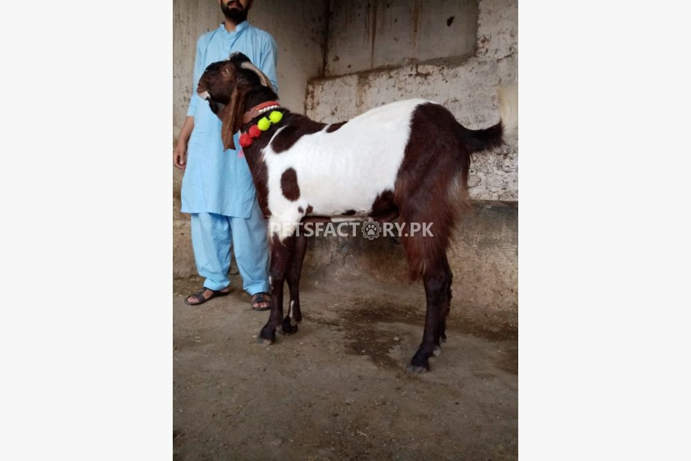 Bakra for sale for sale in Islamabad - Pets Factory