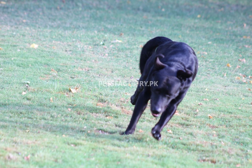 Black Labrador for sale in Karachi - Pets Factory