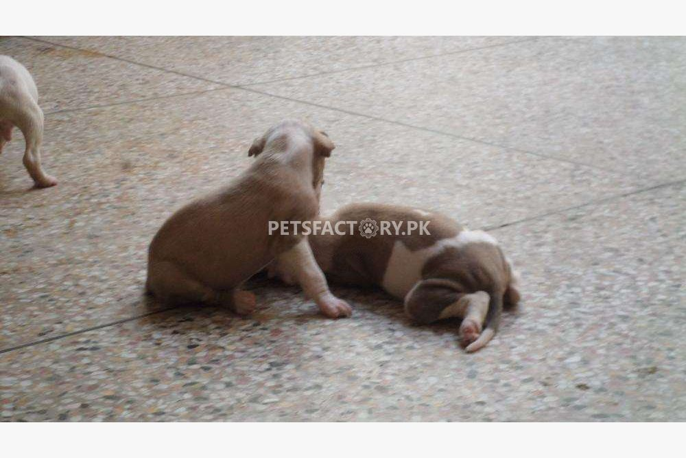 Bully kutta female puppy available for sale in Lahore - Pets Factory