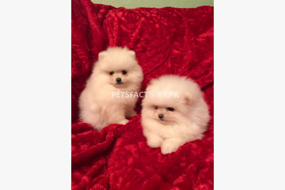 Charming Teacup Pomeranian Puppies for Sale for sale in Karachi