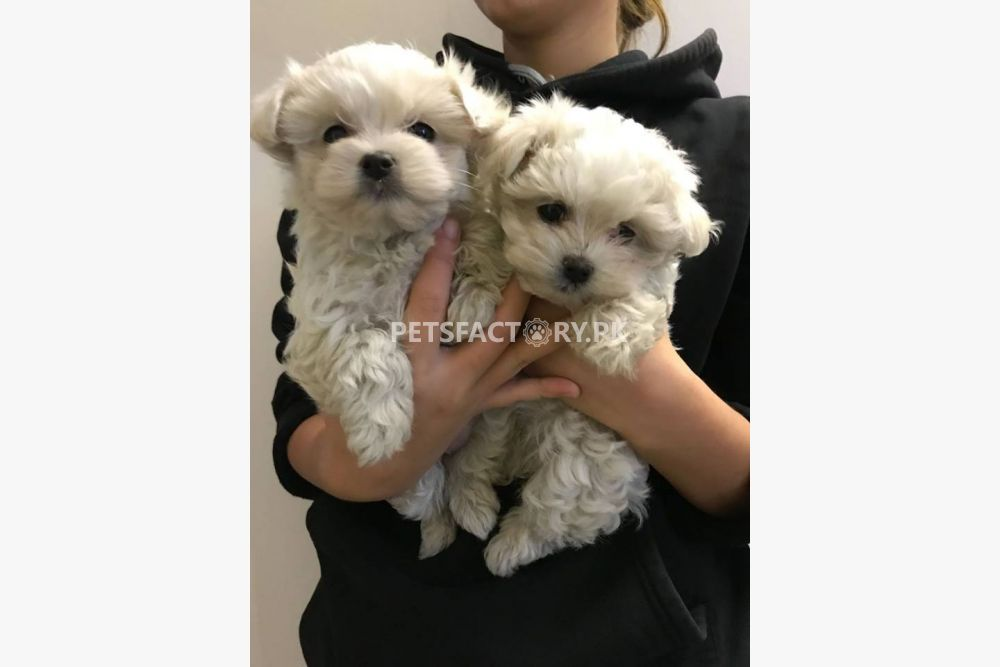Cute Teacup Maltese Puppies Available for sale in Lahore - Pets Factory