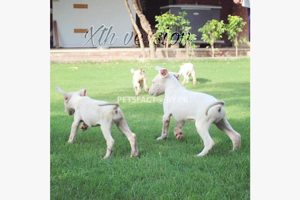 Dogo Argentino puppies available for sale for sale in ...