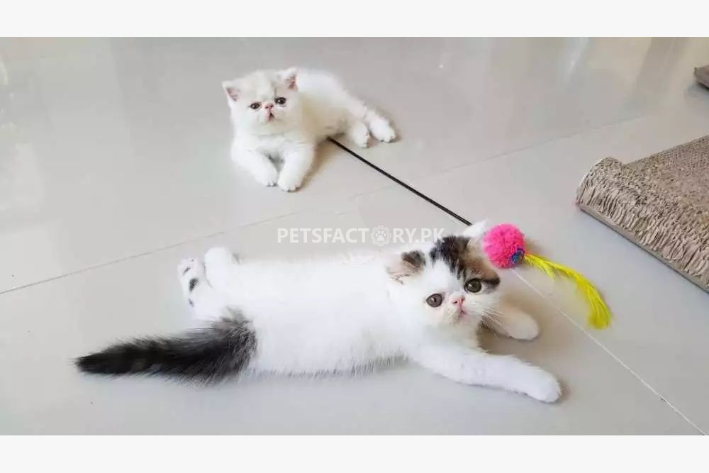 Exotic shorthair kittens for sale in Karachi - Pets Factory