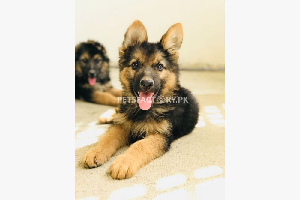 German Shepherd Long coat pair for sale in Islamabad - Pets