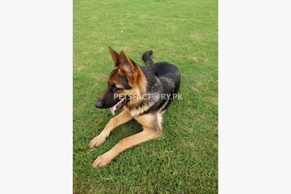 German Shepherd for Sale Bharia Town Lahore for sale in