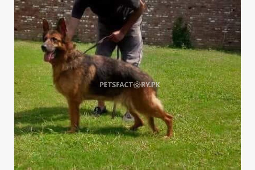German shepherd breeder female available for sale in Lahore