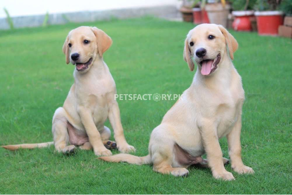 Golden Labrador Puppies for sale in Lahore - Pets Factory