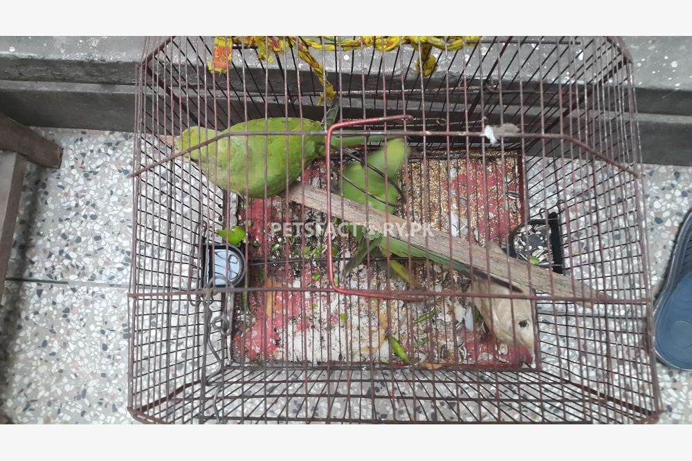 Green parrts for sale in Lahore - Pets Factory