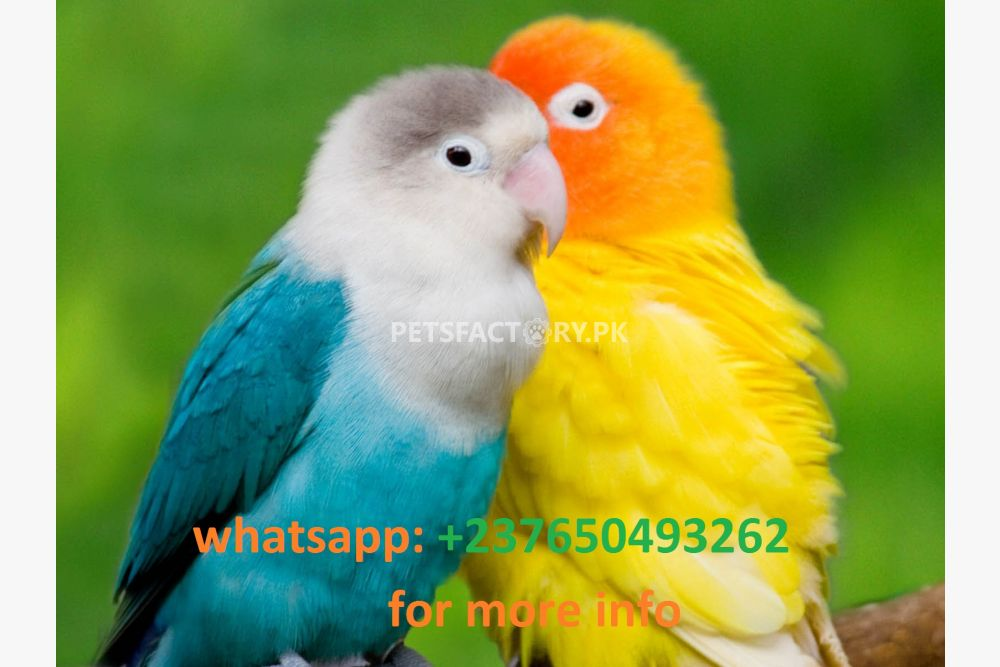 Hahn macaw Quakers lovebirds and Indian ring neck for sale