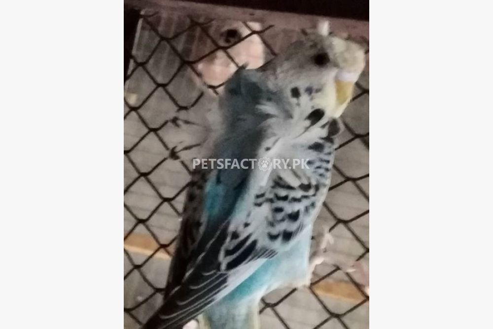 Hogo-Romo-birds for sale in Lahore - Pets Factory