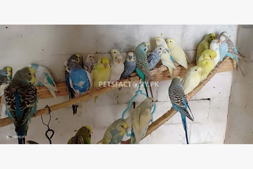 KING AUSTRALIAN PARROTS for sale in Lahore - Pets Factory