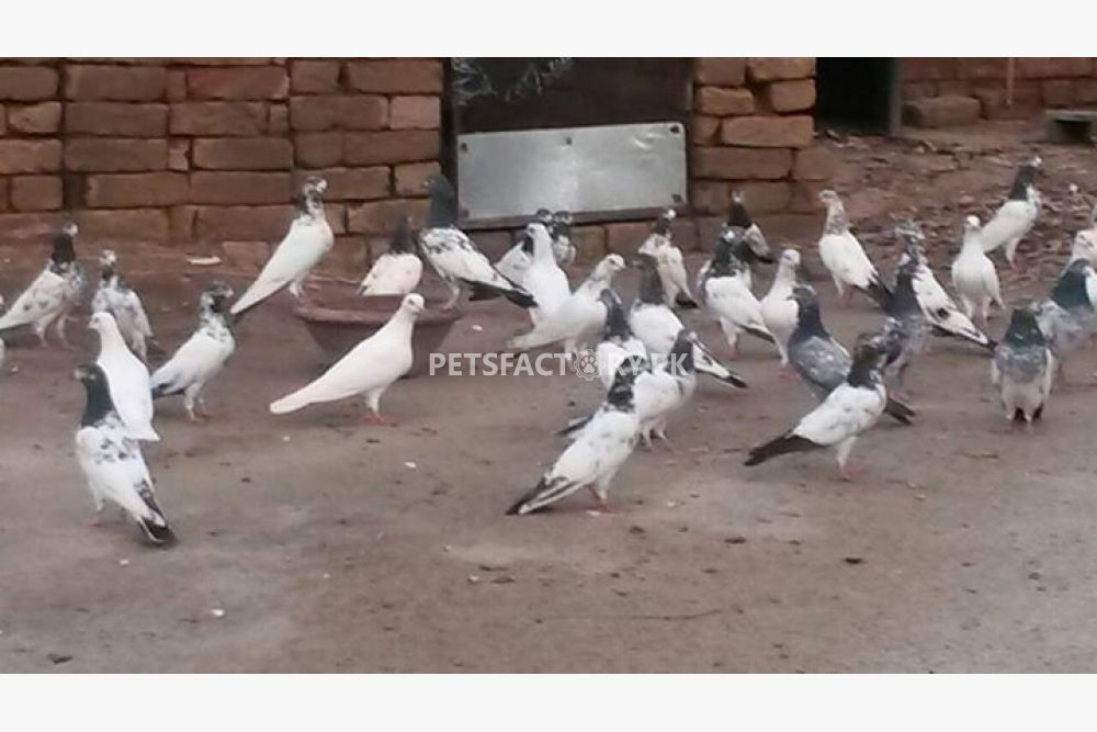 Kabootar for sale in Lahore - Pets Factory