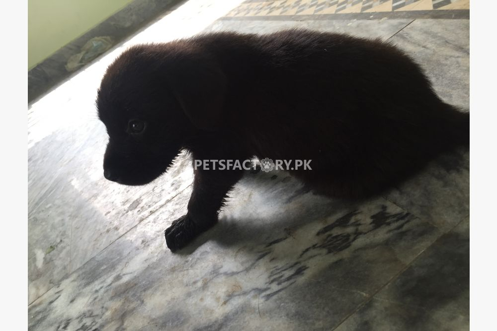 Labrador dog puppies for sale in Sialkot - Pets Factory