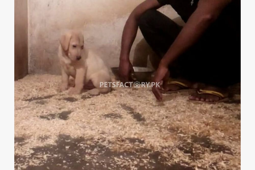 Labrador puppy available for sale in Lahore - Pets Factory
