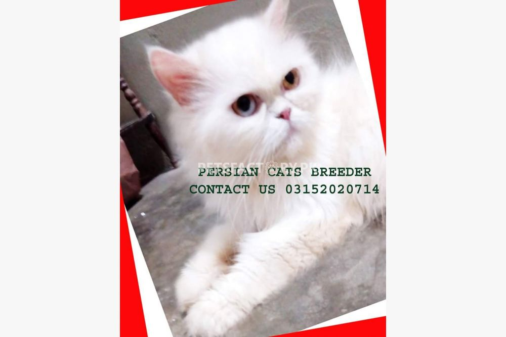 Odd eyes punch face female Persian cat for sell (price on call) for