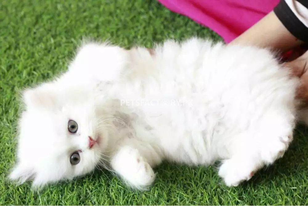 Persian Cat Triple Coated For Sale In Karachi Pets Factory