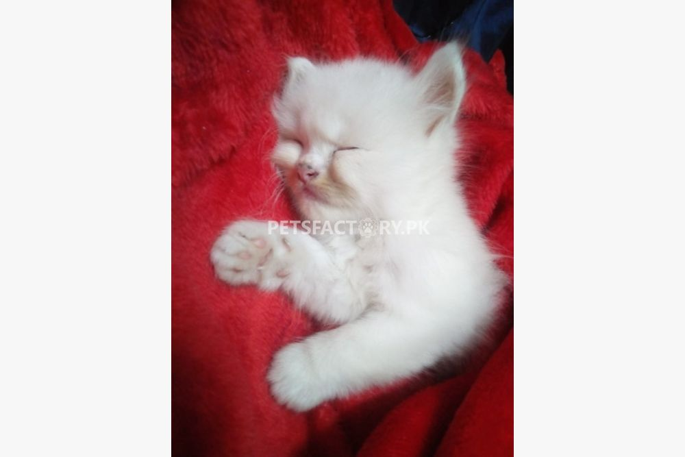 Playful healthy kittens wanna sell for sale in Lahore - Pets